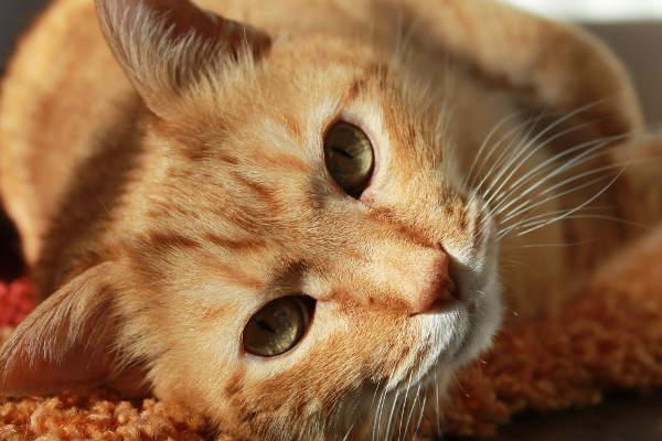 Kremelina pre zvieratá - mačka